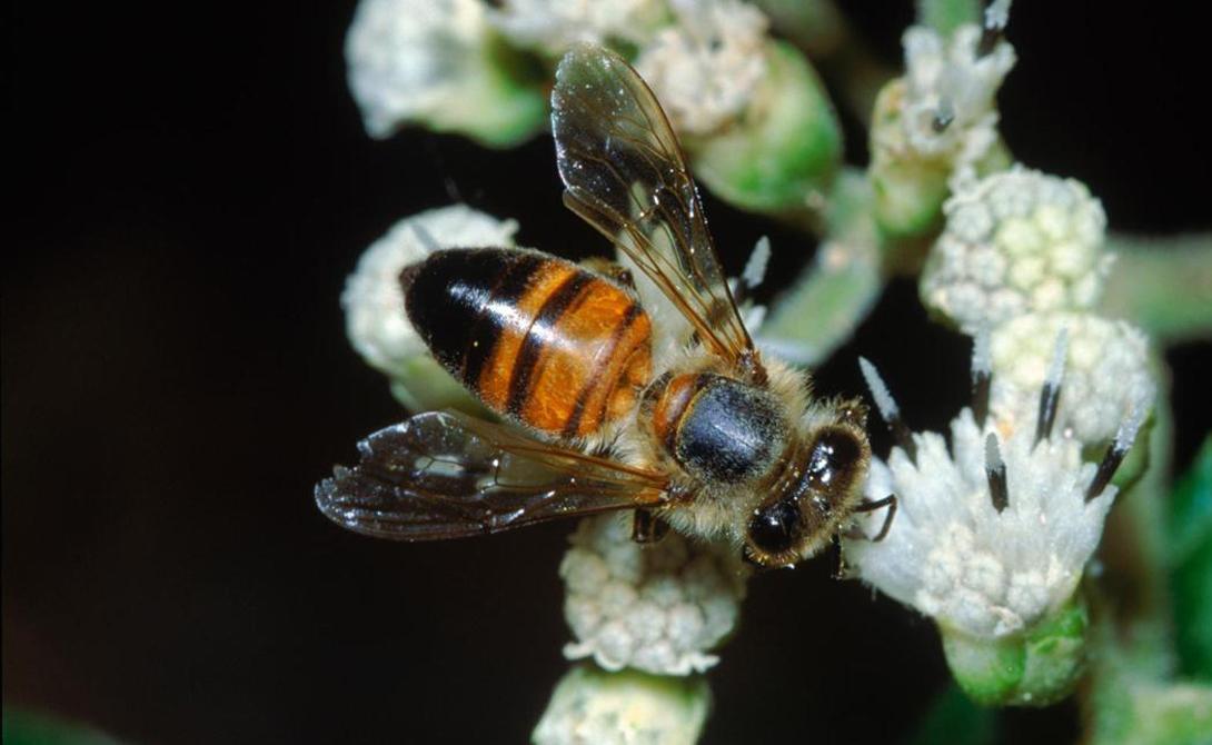 Пчела-убийца Дикие медоносные пчелы Африки весьма отличаются от тех, к которым привыкли пасечники цивилизованного мира. В XX веке их пробовали привнести в Южную Америку, откуда вид распространился на север — здесь им и дали прозвище «пчелы-убийцы». Эти насекомые нападают только тогда, когда решают защитить улей. Яд их чрезвычайно токсичен и способен убить человека за считанные минуты.