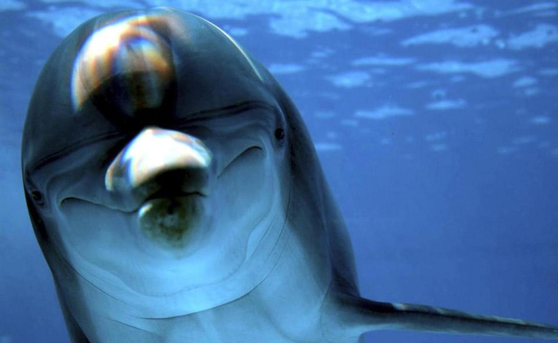 Размеры Мозг взрослого дельфина весит больше, чем мозг человека — 1700 граммов и 1400 соотвественно. Кроме того, у дельфинов в коре головного мозга находится в два раза больше извилин, чем у нас.