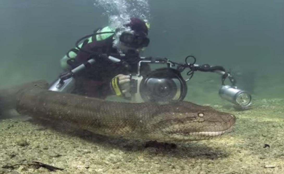 Гигантская анаконда Анаконды водятся в бассейне Амазонки. Естественной средой обитания этих опасных змей остается река и болотистая местность, где удобно маскироваться при охоте за добычей. Анаконды могут вырастать до гигантских размеров: существуют свидетели, утверждающие, что видели змей двадцатиметровой длины. Это вполне реально — в 1998 году одна из научных экспедиций поймала анаконду в 15 метров.