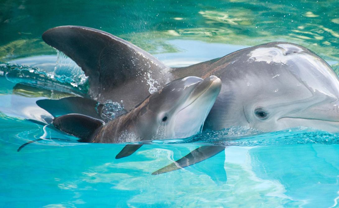 Самосознание Последние полученные учеными данные и в самом деле могут сигнализировать о наличии у дельфинов серьезной социальной структуры. Они обладают не только самосознанием (этим могут похвастать и некоторые другие животные), но и социальным сознанием, практикуемым совместно с эмоциональным сочувствием.
