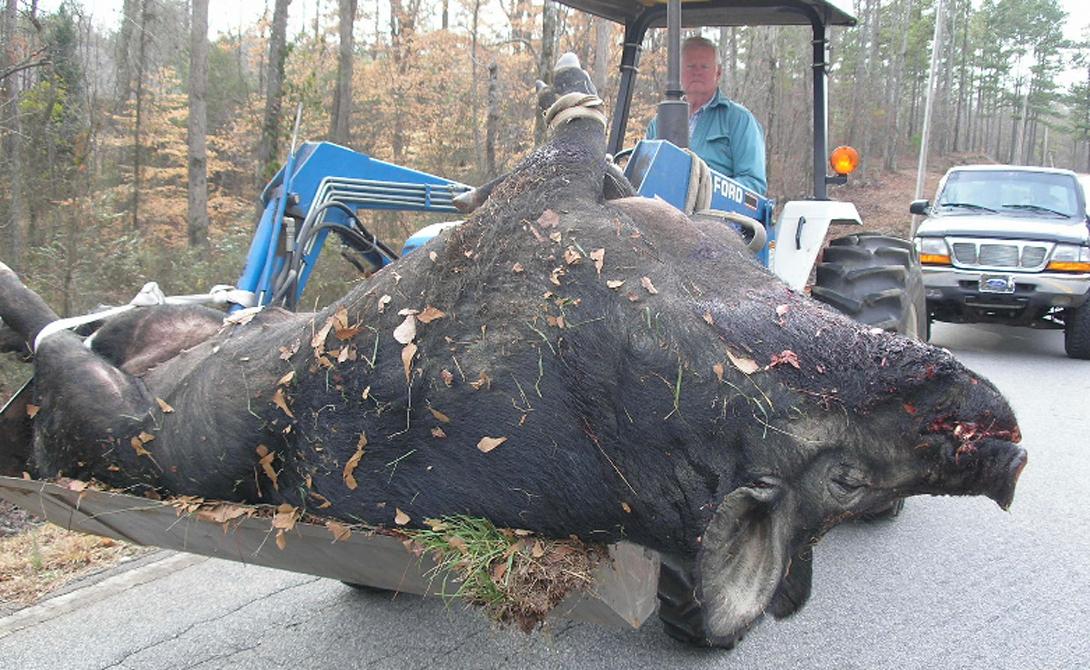 Свинзилла В эти дни коровы и свиньи гигантских размеров уже никого не удивляют. Специальные корма с добавлением гормонов, генная инженерия — человек просто пытается обеспечить себе бесперебойный запас пищи. Тем не менее, появившаяся в 2004 году фотография поразила даже бывалых фермеров. 4 метра, 362 килограмма — чтобы убить зверя, понадобилось тридцать выстрелов из крупнокалиберного ружья. Впоследствии оказалось, что ДНК Hogzilla (так окрестили странное создание в прессе) содержит гены дикого кабана и свиньи.