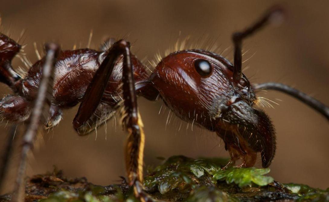 Огненные муравьи Злобные муравьи Solenopsidini закрепляются на теле жертвы, а затем впрыскивают яд жалом, расположенным в брюшном отделе. Токсичный алкалоид соленопсин вызывает у человека ощущения, сходные с сильным ожогом.