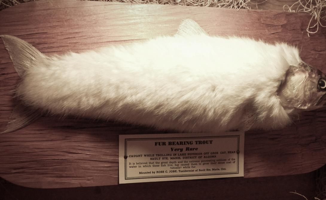 Мохнатая форель Миф о пушной форели возник у первых американских поселенцев, только что открывших самые холодные места новой страны. Домой они отправляли странные письма, наполненные описаниями необычных животных и рыб. Форели тут, мол, так холодно, что и она вынуждена отращивать мех.
