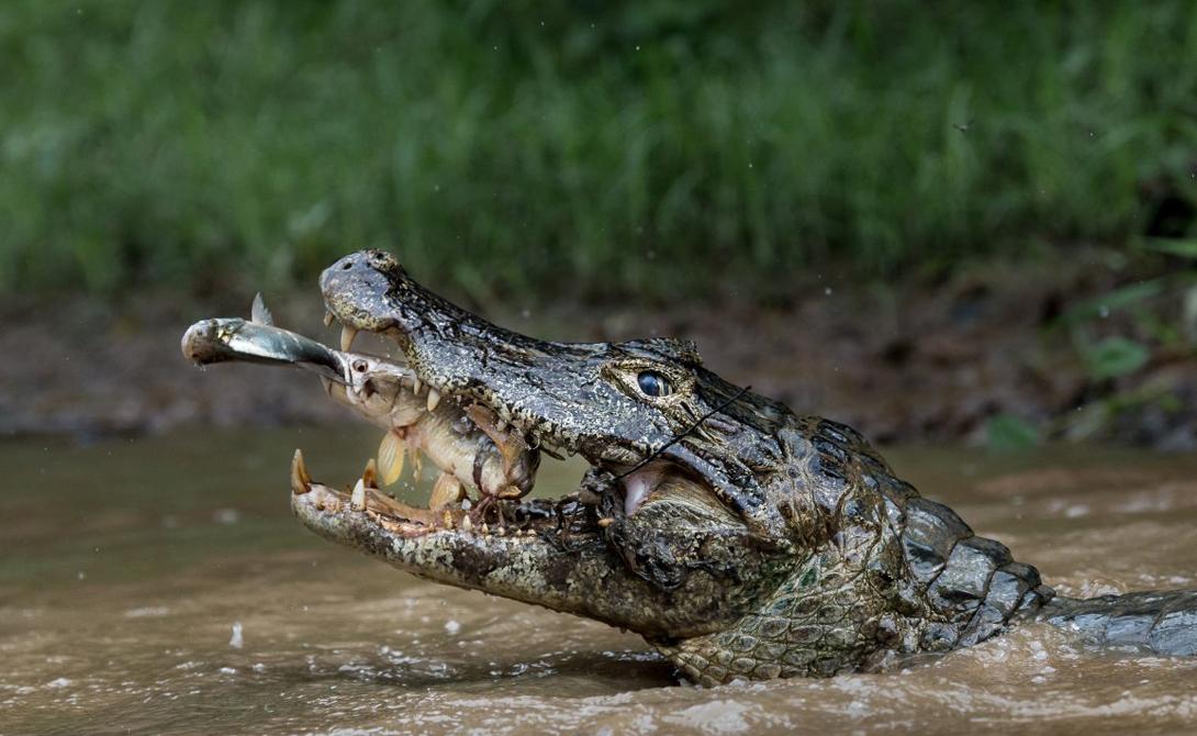 Double trapping Автор: Массимилиано Бенчевинни Сцена была снята на крупнейшем в мире болоте, Бразильском Пантанале.