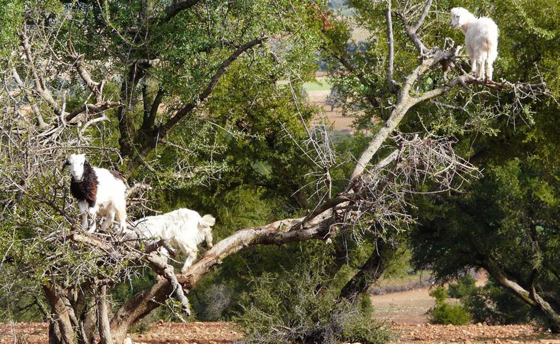 Древесные козы Марокканские козы научились лазать по деревьям, чтобы иметь возможность лакомиться вкусными плодами аргании. Местные фермеры давно привыкли к такой странной особенности, а вот туристы стекаются сюда толпами.