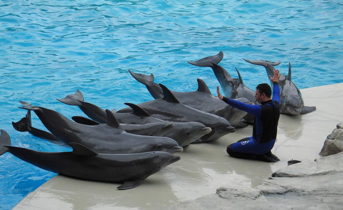 Язык Дельфины остаются единственными в мире созданиями (кроме людей, разумеется), обладающими собственным языком. Они общаются с помощью сложного сочетания щелчков и звуков. Причем, язык дельфинов достаточно сложен для того, чтобы точно координировать поведение всей стаи. Исследователи оценивают лингвозапас обычного дельфина в 8 тысяч «слов» — у среднего человека он составляет всего 14 тысяч, притом, что в обычной жизни используется всего около 1-2 тысяч слов.
