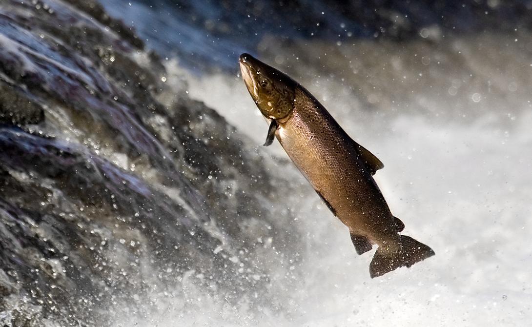 Лосось А вот эта рыба долгое время ставила биологов в тупик: за время миграции лосось умудрятся траверсировать и в морской, и в пресной воде. Кроме того, они способны подниматься на невероятную высоту по горным рекам, чтобы вернуться к водам первоначального водоема.