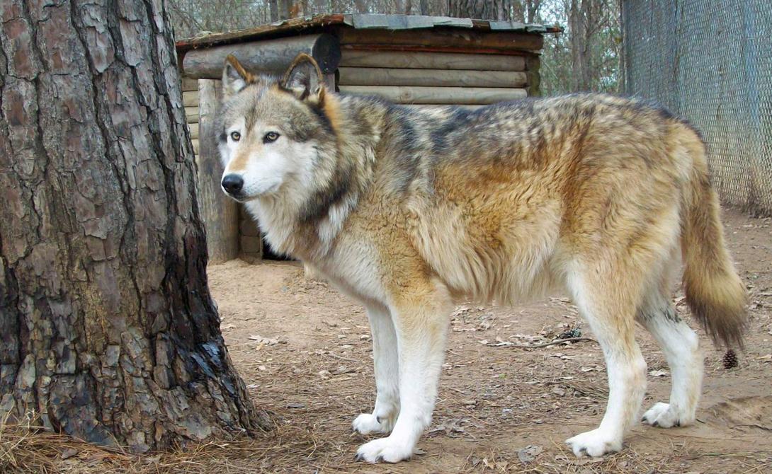 Развлечение Скука губительна для дикого животного. Природа не предназначила волков бездеятельному времяпрепровождению, от которого они могут легко впасть в губительное уныние. Меняйте игрушки в вольере, устраивайте там искусственные препятствия, посадите дерево, если позволяет пространство, можно даже вырыть небольшой пруд. Не забывайте постепенно приучать дикаря к поводку: волков нужно выгуливать ежедневно.