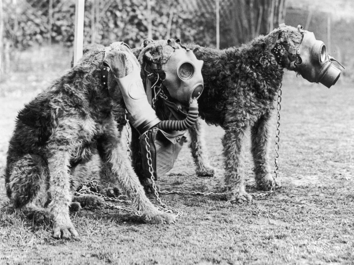 Первая мировая война Начало Первой мировой войны можно считать началом собачьей армейской службы на постоянной основе. Все стороны конфликта активно использовали собак для передачи сообщений, подрыва вражеской бронетехники и даже для спасения раненых с поля боя.