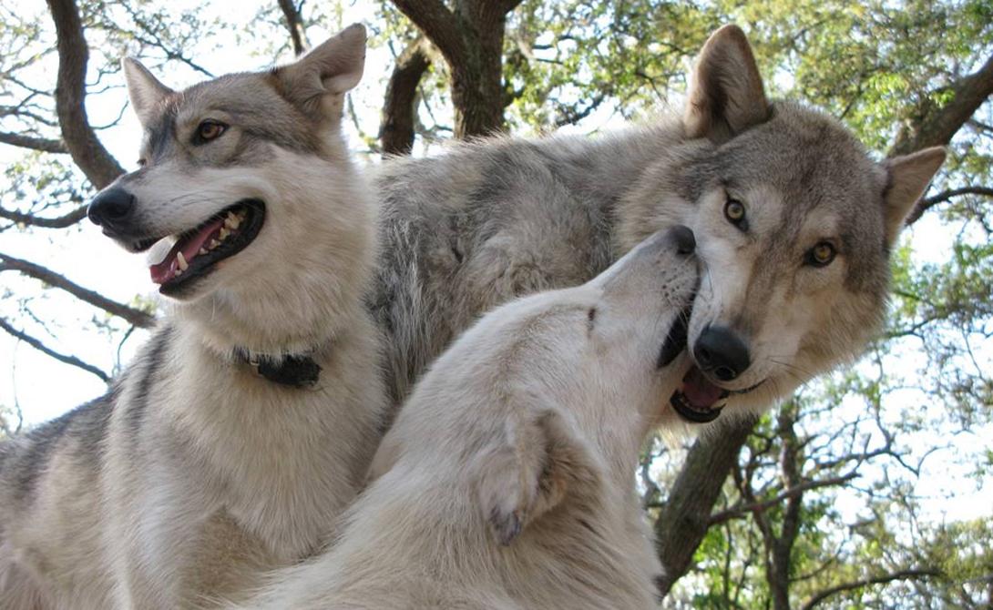 Заводим дома настоящего волка