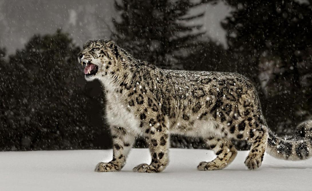 Прыжки в длину Ирбис Расстояние: 15,24 Снежный леопард, который обитает в горах Центральной Азии, встречается в природе очень редко. Зато любой из малочисленной популяции с легкостью превысит человеческий рекорд по прыжкам в два раза: средняя длина прыжка ирбиса превышает 15 метров.