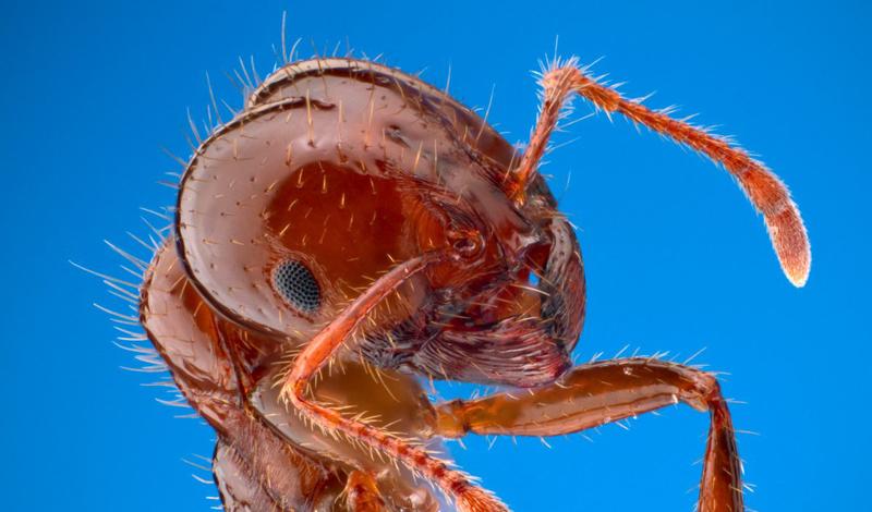 Красный огненный муравей Ареал обитания: Южная Америка Уровень боли: 1 Будто идешь по мягкому ковровому покрытию, не ожидая никакого подвоха, и внезапно наступаешь на кубик конструктора. Неприятно, но вполне терпимо.
