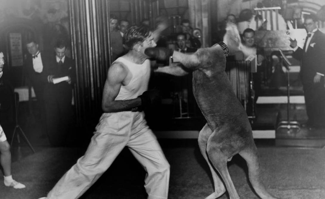 Бокс с кенгуру Верите или нет, но у такого бокса есть довольно длинная и славная история. В конце 1900-х годов Австралия экспортировала единственное на тот момент свое достояние: кенгуру. Зрелищный вид спорта просуществовал почти до середины 1920-х годов.