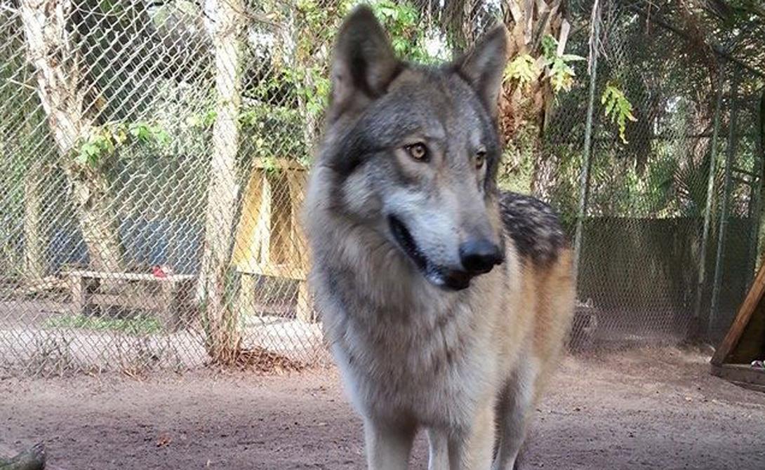 Условия содержания Конечно, если очень захотеть, то можно держать волка даже в кладовке. Удовольствия это правда не доставит ни животному, ни вам. Волки создания свободолюбивые. Большой вольер на личном участке земли станет идеальным выбором. Животному потребуется много место для игр, которые развивают его физически.