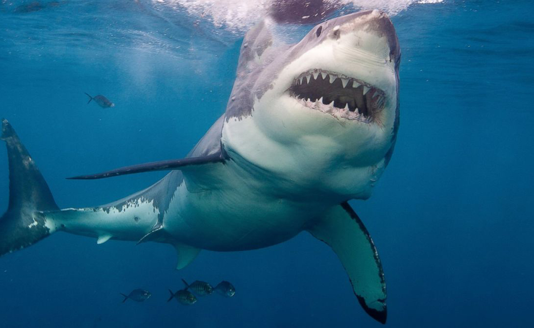 the background information of the great white shark Facts and information about great white shark great white shark description, behavior, feeding, reproduction, great white shark threats and more.