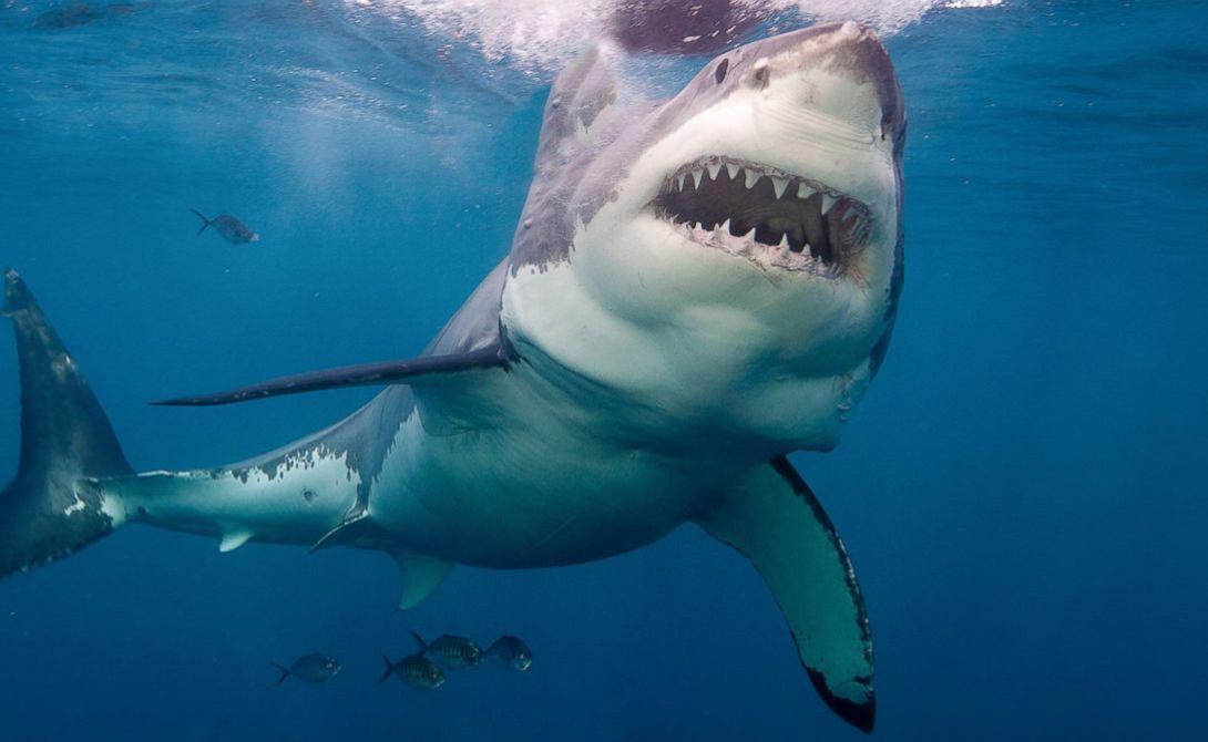 Белая акула Большая белая акула может считаться самым настоящим путешественником. Представители этого вида с легкостью преодолевают огромные расстояния через Индийский океан, доплывая от берегов Южной Африки до Австралии.