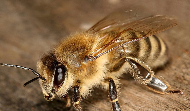 Медоносная пчела Ареал обитания: Африка, Европа Уровень боли: 2 Едкое жжение причиняет довольно сильную боль. Энтомолог-мазохист сравнивает свои ощущения с ожогом подушечки пальца спичкой, которую заранее вымочили в серной кислоте.