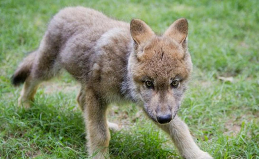 Диета Одной из главных проблем может стать бюджет. Сухой корм для собак волкам и волкособам не подходит: им подавай мясо, да еще килограммами. В идеале кормить волка нужно олениной, но для этого вам придется быть охотником с лицензией.