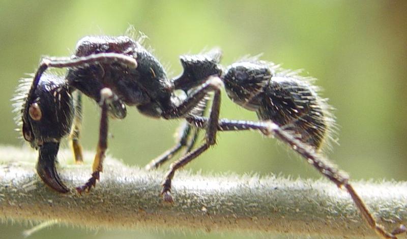 Бархатный муравей Ареал обитания: Северная Америка Уровень боли: 3 Резкая, длящаяся целую вечность боль. Будто опустить руку в раскаленное масло: первоначальные ощущения меркнут с дальнейшими страданиями.