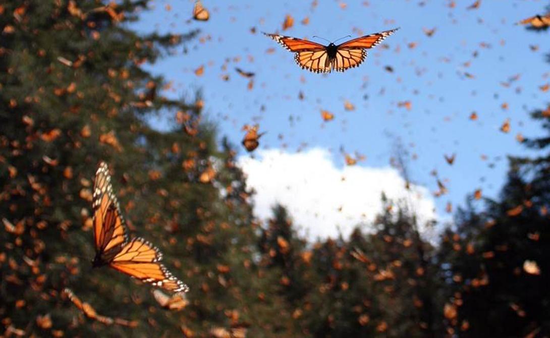 Бабочки Монарх Сезонная миграция бабочек-монархов может с полным правом называться самой красочной миграцией в мире. За все время путешествия (7 000 километров через Атлантический океан), сменяется целых четыре поколения.