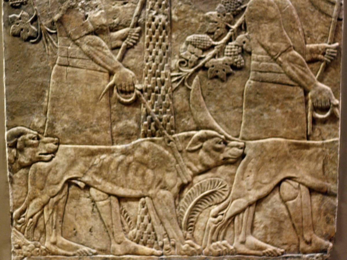 Молоссус Древние римляне разводили огромных псов для охраны своих укрепленных лагерей. Порода давно исчезла, а ее отдаленными потомками можно считать мастифов. Кстати, именно этих собак использовали в 1500-х годах испанские конкистадоры, обряжавшие боевых друзей в доспехи и ошейники с шипами.