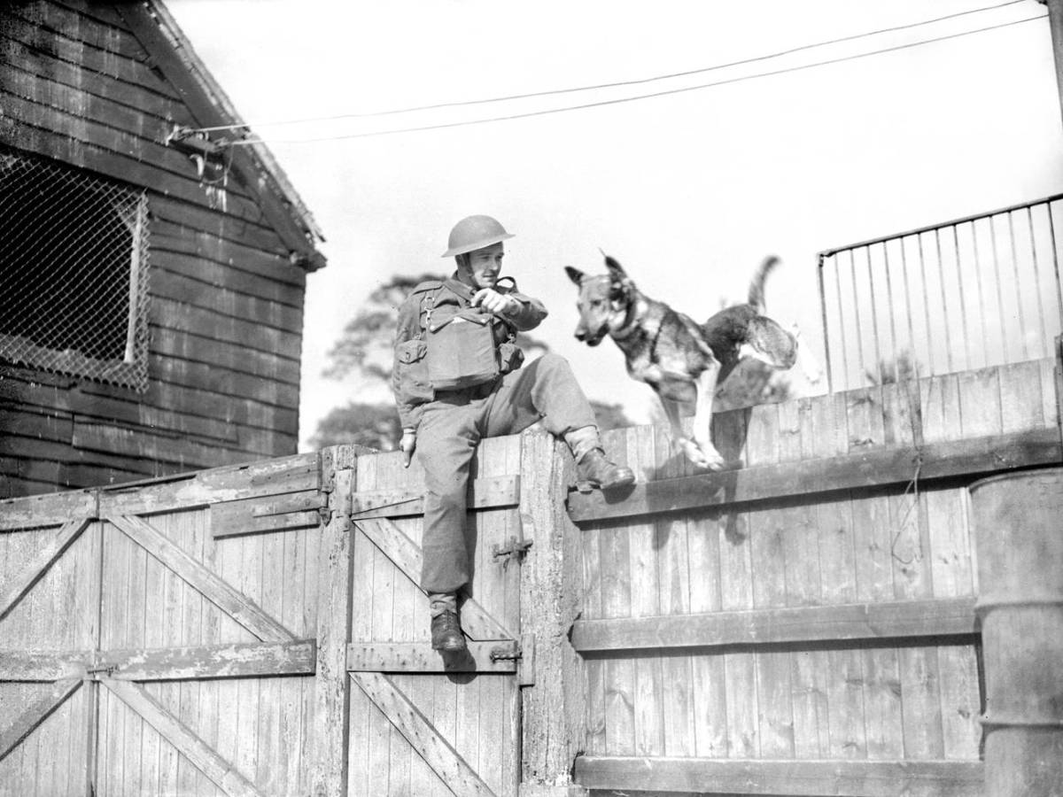Вторая мировая война К моменту Второй мировой войны в армиях многих стран числились специальные кинологические роты. К сожалению, по большей части собаки считались расходным материалом. Их часто отправляли с привязанными к спине минами и уже не ждали обратно.