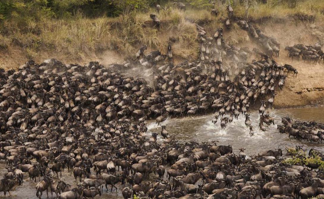 Антилопа Гну Гигантские стада Гну путешествуют по всей Африке в поисках лучших пастбищ. Эти животные никогда не мигрируют небольшими группами: обычный размер стада колеблется между 200 000 и 300 000 особей. Миграция антилоп является одним из величайших зрелищ природы: огромные стада пересекают кишащую крокодилами реку, отбиваются от львов и сами прогоняют с обжитых мест других обитателей.