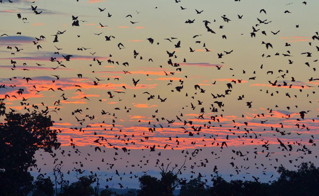 Палевые крыланы Всего несколько видов летучих мышей дают себе труд мигрировать хоть куда-то. Палевые крыланы устраивают из путешествия невероятное зрелище. Около 8 миллионов мышей выстилают небо мохнатым одеялом, пугая шумом своих крыльев суеверных местных жителей.
