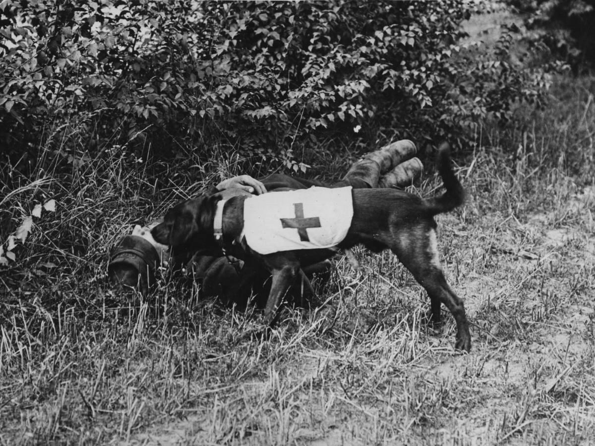 Красный Крест Лучше всего четвероногие бойцы показывали себя в спасении раненых. Обученная собака брала шлем раненного пехотинца и несла в лагерь, а затем могла указать место, где дожидался боец. Бывали случаи, когда несколько собак буквально притаскивали потерявшего сознания солдата к палаткам Красного Креста.
