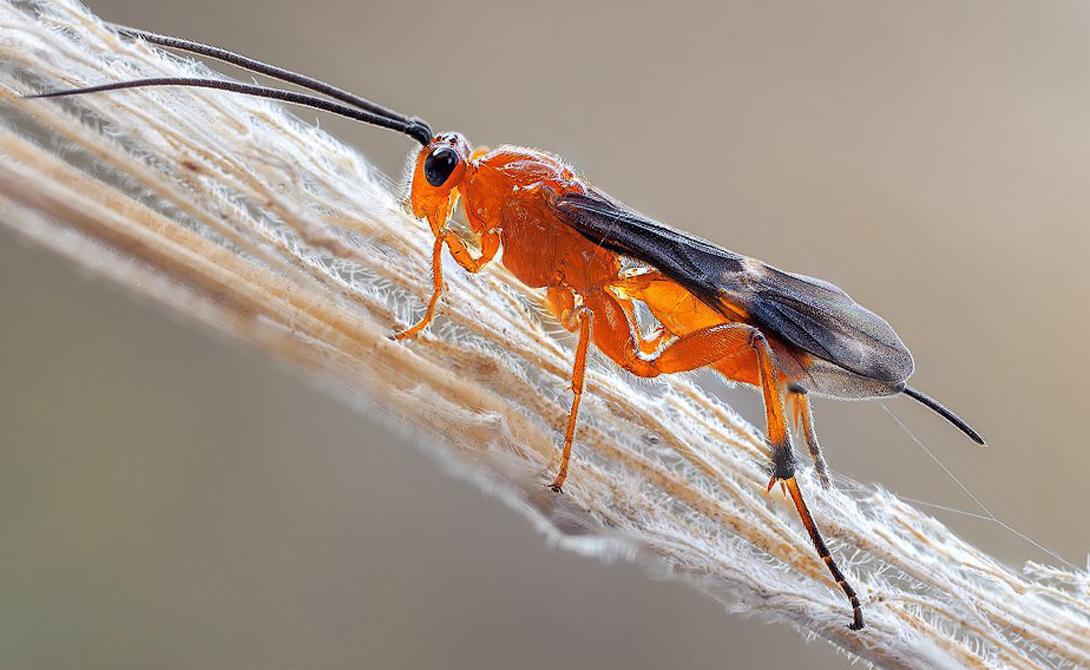 Бракониды Паразитические осы вообще неприятны большей части людей. Личинки браконид обладают вшитым «фаерволом» из вирусов, которые помогают хозяину справляться с атакой иммунитета носителя. К сожалению, эти мерзкие создания намного выносливее нас. Проведенный в 1959 году опыт показал способность рода Habrobracon спокойно выдерживать облучение в 1800 Грей. Для нас же смертельная доза в 200 раз меньше.