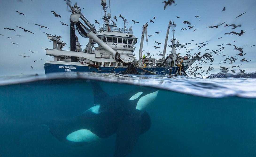Кит-убийца Лодки норвежских рыбаков часто следуют за касатками и горбатыми китами, в надежде наткнуться на косяки сельди, которые мигрируют в этих арктических водах Норвегии. В последнее время млекопитающие переняли людскую тактику: теперь они двигаются за траулерами в надежде на легкую добычу.