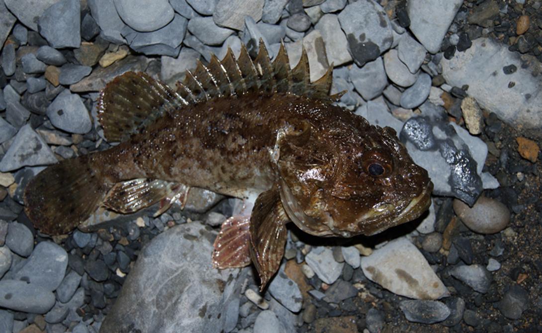 Скорпена Эту рыбу еще называют морским ершом. В ее плавниках и острых выростах тела расположены ядовитые железы, с помощью которых скорпена обороняется от хищников. Неосторожный купальщик может поплатиться частью ступни.