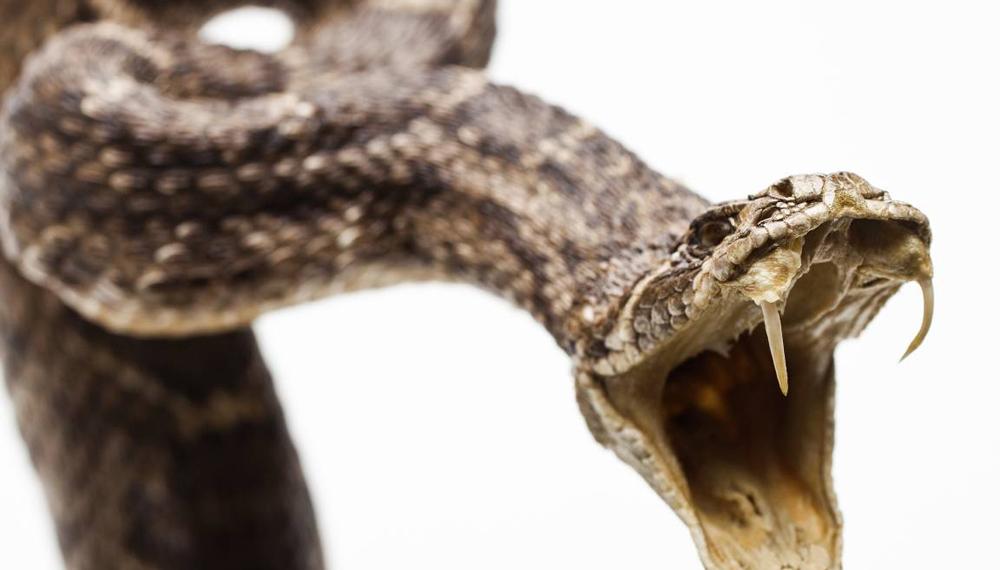 Змеи Практика использования змей в медицинских целях также имеет очень долгую историю. Еще в 1 веке до нашей эры из этих пресмыкающихся экстрадировали масло, применяемое от боли в суставах.
