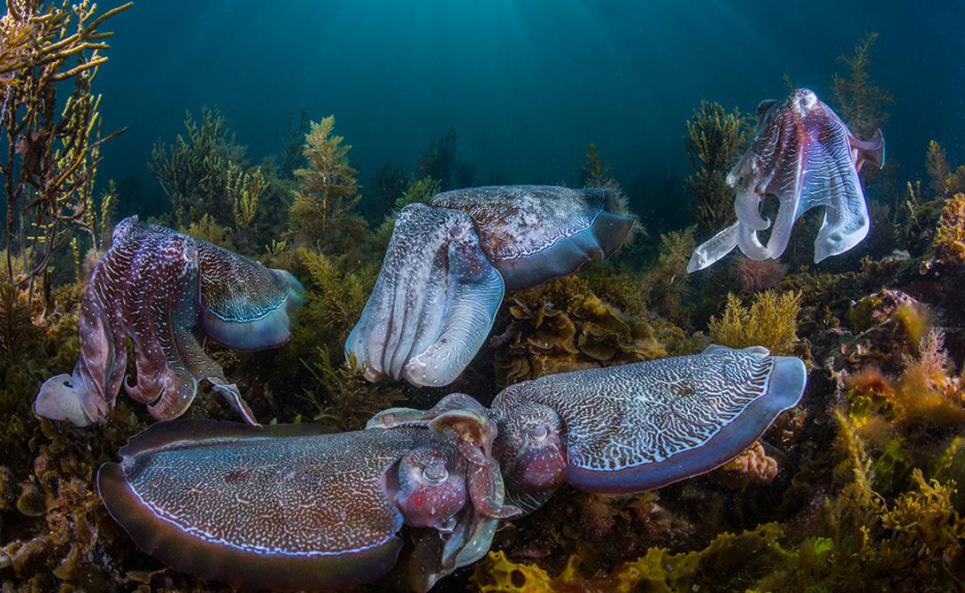 Я лучше Фотография: Скотт Портелли Тысячи гигантских каракатиц собираются каждую зиму в мелких водах Залива Спенсера, Южная Австралия. Самцы ведут бесконечную битву за ресурсы и благосклонность самок, изменяя цвета кожи, текстуру и рисунок.