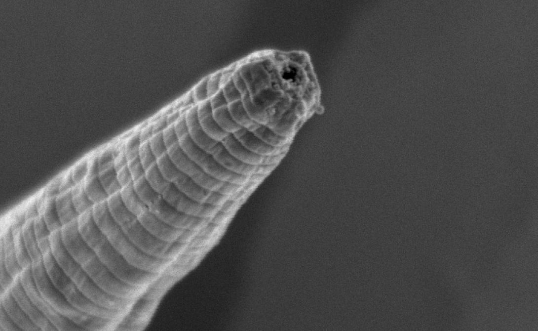 Червяк-дьявол Вид Halicephalobus mephisto был обнаружен только в 2011 году. Шахтеры случайно наткнулись на червей, прокопав до глубины в 3,6 километров. Ученые также нашли доказательства того, что средняя продолжительность червей находится в диапазоне от 3000 до 12000 лет.