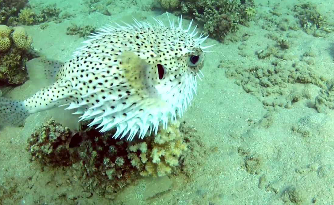 Еж-рыба Таким уловом могут часто похвастать рыбаки Тихого и Индийского океанов. Есть подобный трофей они не рискуют — и правильно делают. Все основные органы рыбы заполнены тетродоксином, ядом, вызывающим неотвратимую и очень болезненную смерть.
