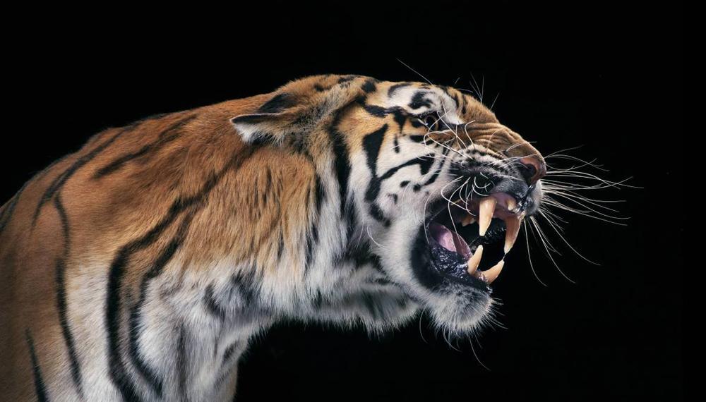 Тигр Племена всей Азии почитали тигра как самое мудрое и могущественное животное. По тем же верованиям, величественную силу тигра можно было получить путем поедания его плоти. К тому же каждая частица животного наделялась фантастическими свойствами: усы шли в отвар против эпилепсии, когти и кости толклись в прах и смешивались в придающий мужество напиток.