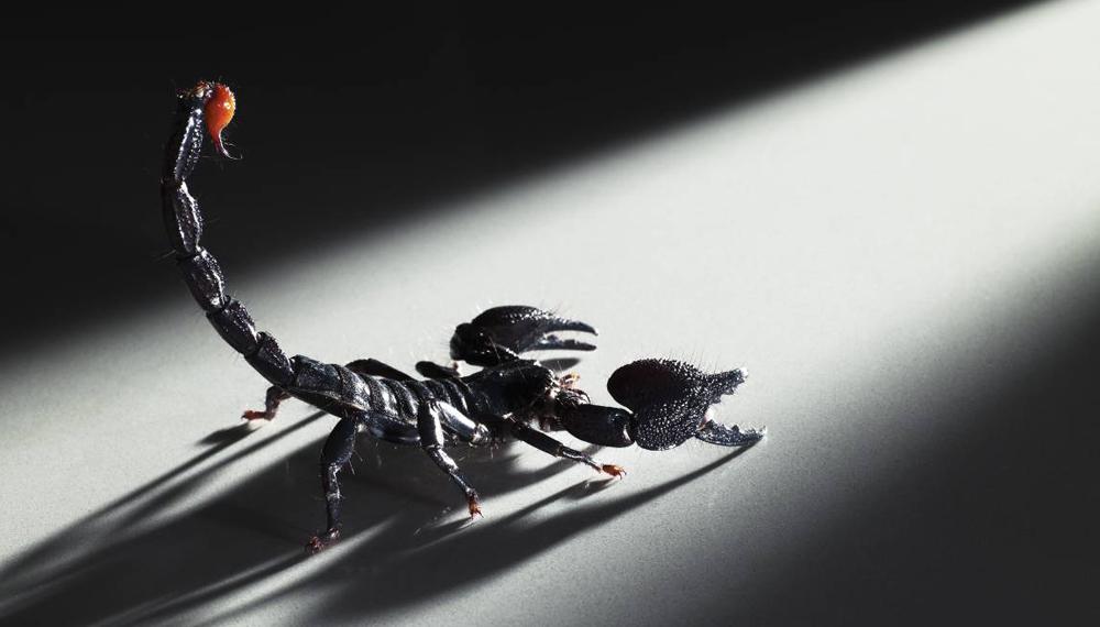 Скорпионы В то время как змеиный яд в основном используется для разработки противоядия, токсин скорпиона содержит вполне реальные целебные свойства. Химическое соединение margatoxin современные медики синтезируют в сильный иммунодепрессант, помогающий при трансплантации органов.
