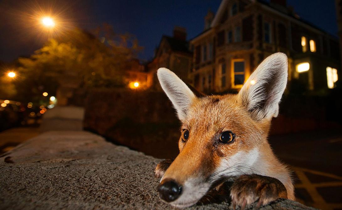 Хитрый лис Фотография: Сэм Хобсон Сэм Хобсон точно знал, на кого охотится, когда устанавливал свою камеру в пригороде Бристоля, известного в лисьей среде города.