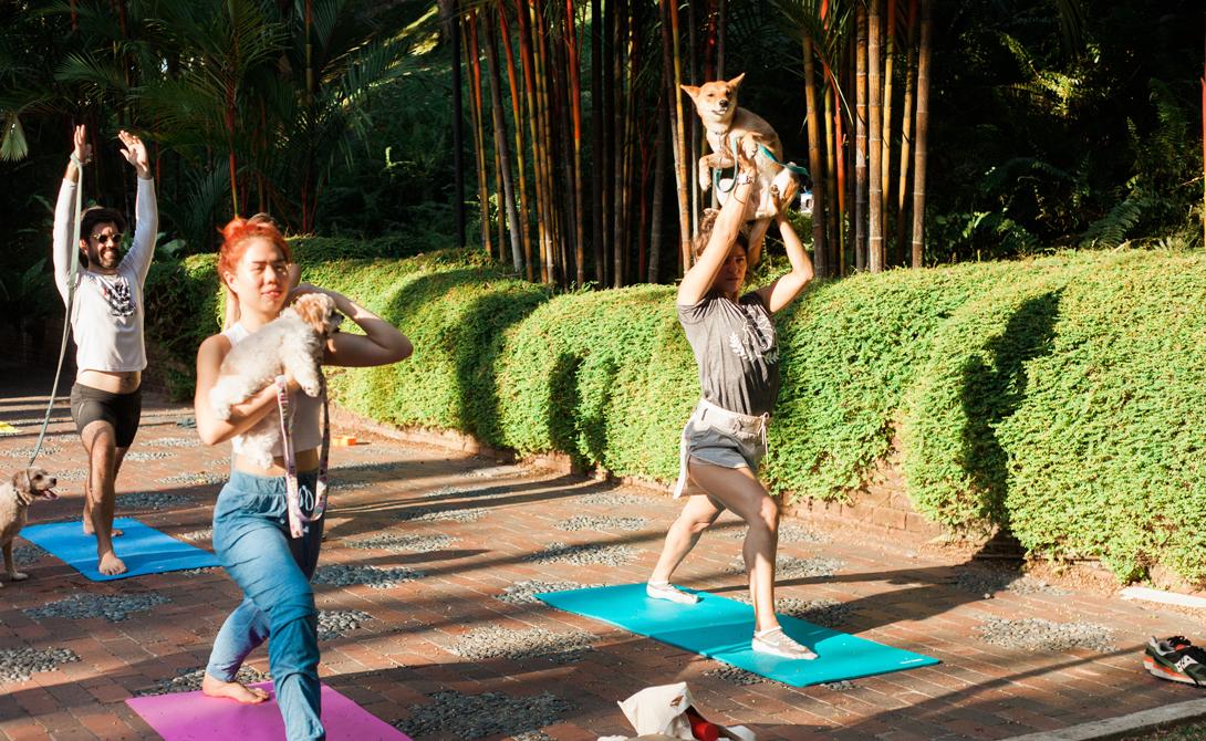 Дога Сертифицированный преподаватель йоги из США додумался, как сделать свои занятия сверхпопулярными. Махни Джахангуру практикует «догу», добиваясь спокойствия и снятия стресса со своих учеников: фактически, мастер включил собак в самые популярные комплексы йоги.
