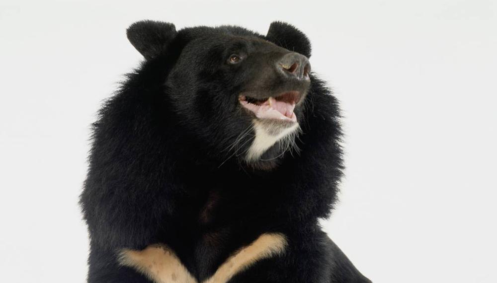 Гималайский медведи За три с лишним тысячи лет желчь редких гималайских медведей получила статус лучшего обезболивающего в мире. В конце 80-х годов прошлого века многие азиатские страны ввели ужасную практику промышленной добычи желчи. Медведей запирают в маленьких клетках, прокалывают им желчный пузырь и вставляют катетер.