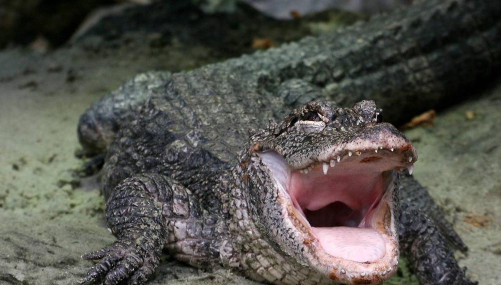 Китайский аллигатор Китайская медицина беспощадно эксплуатировала «магические» свойства мяса и других компонентов многих экзотических зверей. Местных аллигаторов, не вырастающих больше метра в длину, медики Поднебесной извели полностью. Считалось, будто верно приготовленное мясо аллигатора лечит все болезни, от простуды до рака.