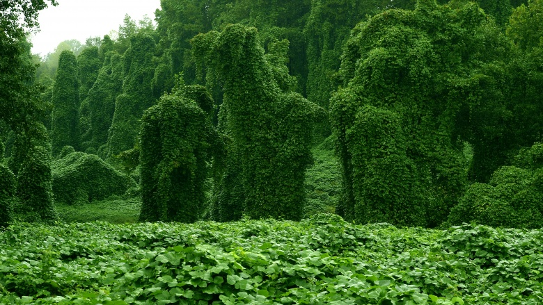 Кудзу Родина Кудзу Япония, но встречается оно и в других странах Азии. Американцы опрометчиво решили использовать растение для борьбы с эрозией почвы и вырастили его в южных штатах. Лозы укоренились так прочно и стали распространяться с такой скоростью, что за несколько месяцев превратились в гораздо большую проблему, чем какая-то там эрозия. Кудзу вырастает до полуметра в день, душа на своем пути все встречное. Другие растения, здания, животных и человека, если он будет двигаться слишком медленно. Ботаники уже отчаялись найти действенный способ борьбы с лозой-душителем.