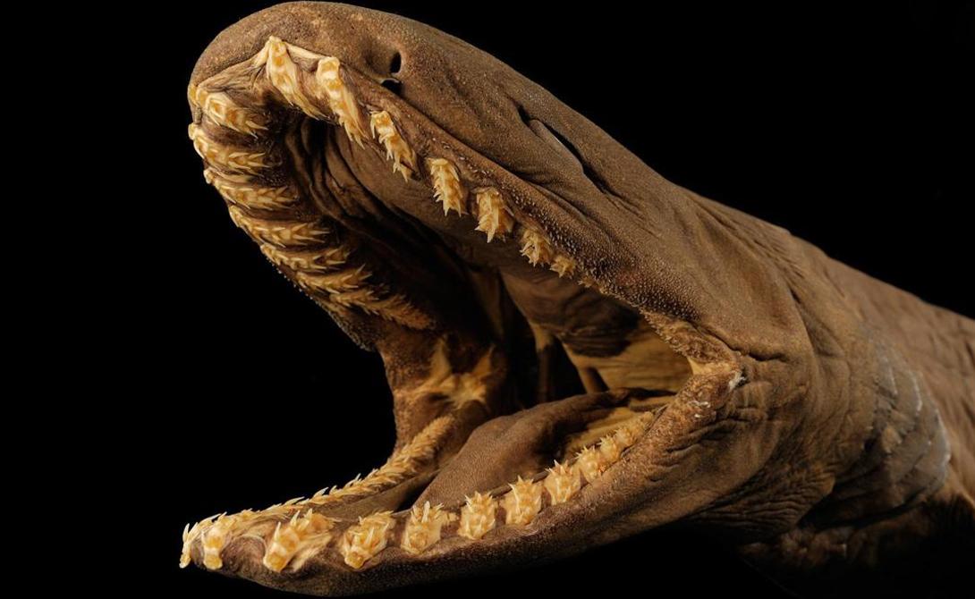 Плащеносные акулы По счастью, шансы встретить плащеносную акулу у вас минимальны. Они живут на большой глубине, будто и сами стесняясь своего облика. Необычайно широкие челюсти позволяют этой акуле заглатывать крупную добычу целиком.