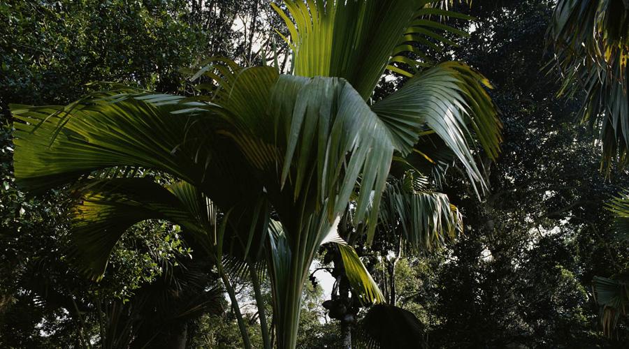 Талипотовая пальма Соцветие талипотовой пальмы может вырасти до девяти метров в высоту. Всю конструкцию составляют маленькие цветки, которых может набраться целый миллион. Спустя тридцать лет роста пальма начинает плодоносить и умирает сразу по истечении этого периода.