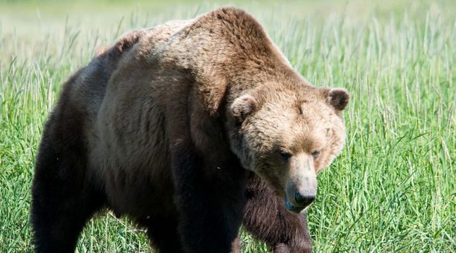 Медведь Медведи являются одними из самых милых крупных хищников в мире — в сказках многих народов они показаны добродушными увальнями, часто выступающими на стороне героя. Это довольно странно, ведь именно медведи числятся одним из немногих животных, способных специально охотиться и убивать людей. Потенциальную опасность несет встреча с любым подвидом, а знакомство с гризли или белым медведем пережить и вовсе не получится.