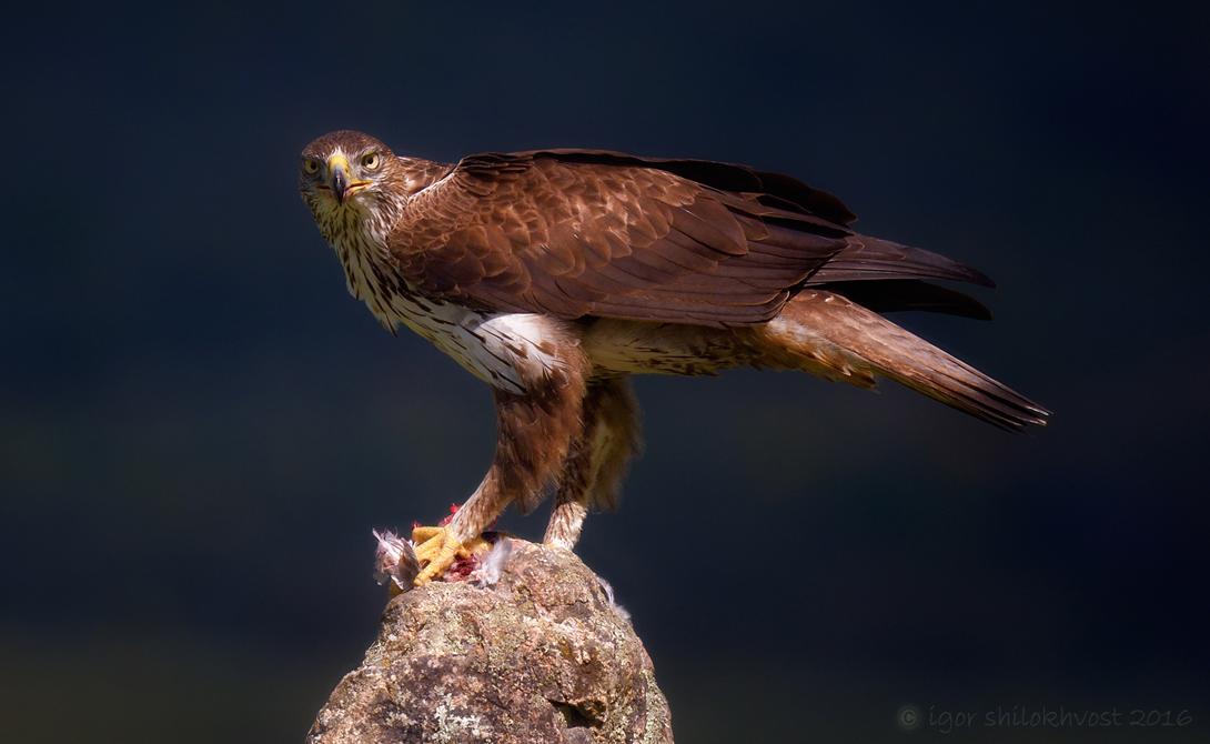 Ястребиный орел Самая большая птица Южной Африки чаще всего встречается к югу от Сахары. Ястребиный орел вооружен огромными, бритвенно-острыми когтями, а удар его задних лап настолько силен, что мог бы свалить даже человека.