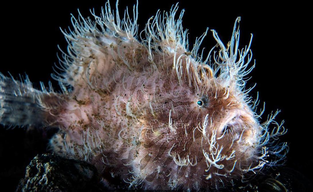 Рыба-жаба Поперечно-полосатая рыба-жаба (Antennarius striatus) считается признанным экспертом камуфляжа. Это необычное создание использует тактику засад, приманивая к себе добычу специальными феромонами.