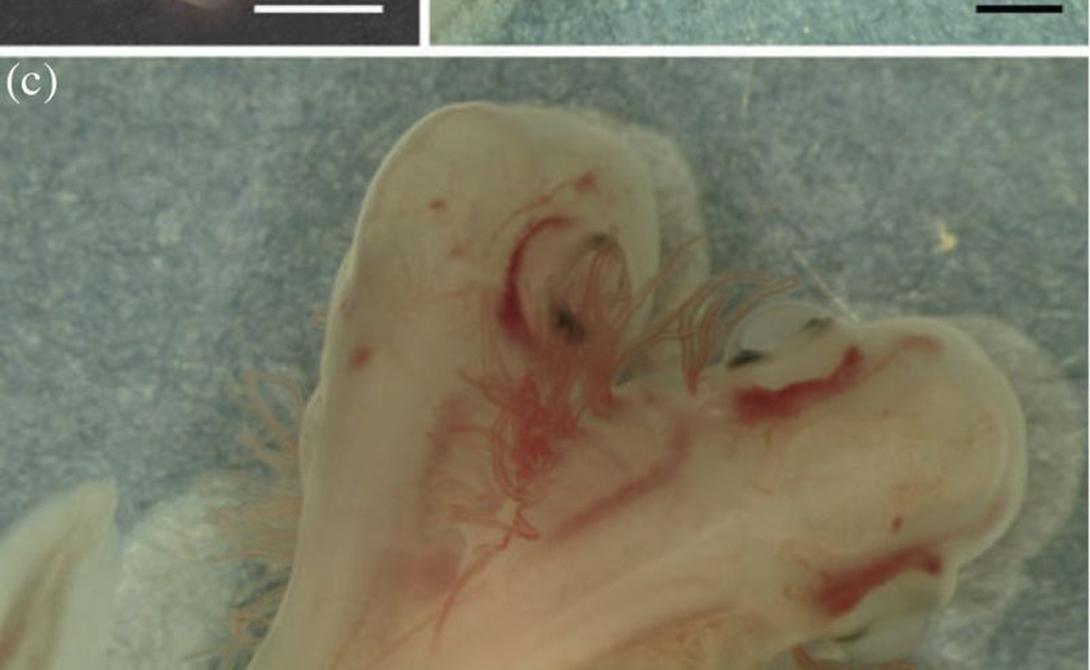 Лабораторный ужас Биологи перебирали эмбрионы кошачьих акул для исследования, как развивается их сердечно-сосудистая система. В одном из экземпляров лаборант, к своему ужасу, разглядел странное, вполне активное двухголовое существо, растущее внутри полупрозрачного яйца.