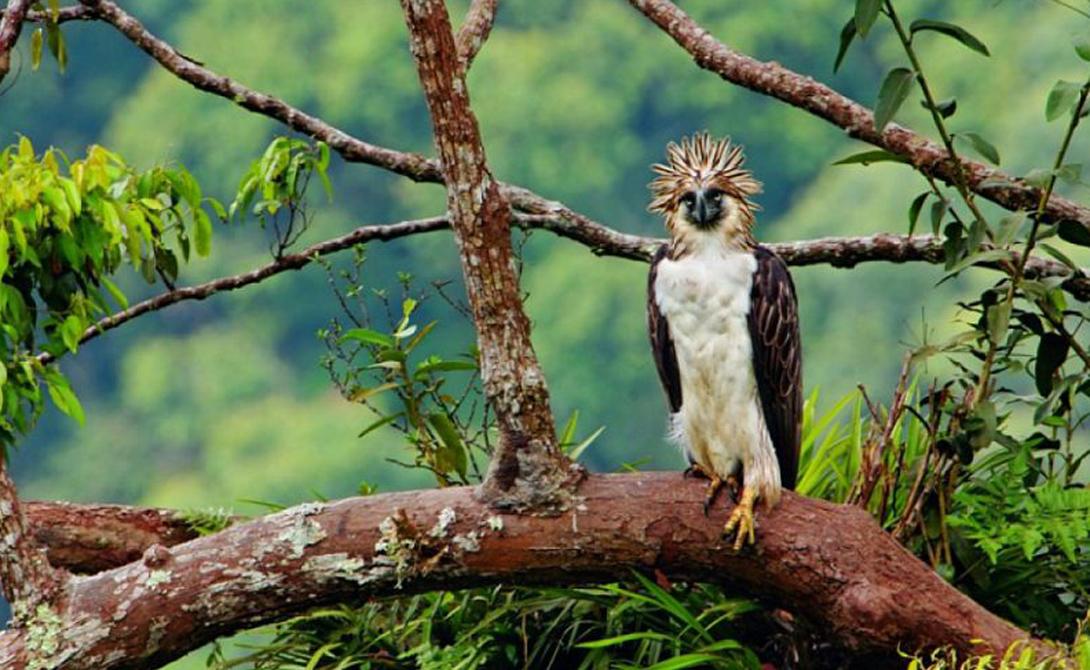 Филиппинский орел Орел-обезьяноед считается одной из самых редких, самых крупных и самых сильных птиц в мире. Встретить его можно только в тропических лесах Филиппин: здесь он считается национальным символом страны. За убийство орла местное законодательство предусматривает двенадцать лет тюрьмы — для сравнения, за убийство человека грозит всего девять лет.